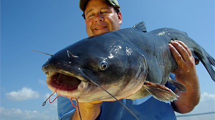 The tributaries of Chesapeake Bay are home to millions of catfish, including trophy-class blue cats known to reach weights exceeding 100 pounds and flatheads that sometimes tip the scales at 80 pounds or more.