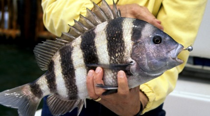 When a fisherman presents his bait, this black-banded cousin of the porgy comes up and steals it. The fisherman never feels a thing, never knows the fish has cleaned his rig.