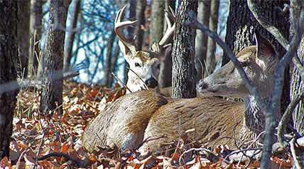 Part of being a good, consistent whitetail hunter is having the ability to decode the signs bucks leave behind, understand what it means and use the information to increase odds for success during the different rut phases of fall.