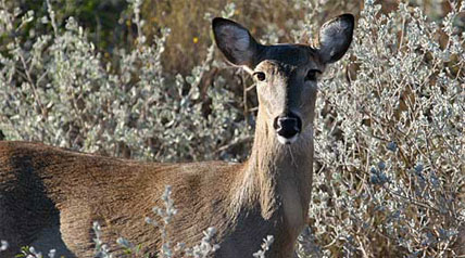 Wildlife agency officials in South Dakota and Nebraska are considering taking measures to reduce the number of deer hunting licenses or permits issued this fall due to outbreaks of a viral disease in the state's deer herds.