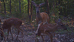 While the sex ratio of fawns at birth across a large region is roughly 50-50, research has identified factors which can skew this toward one sex or the other on a local basis.