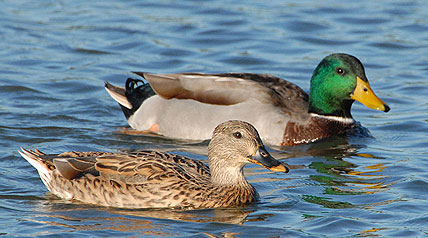 The preliminary estimate for the total duck population is 49.2 million birds, an 8 percent increase over last year's estimate of 45.6 million birds, and 43 percent above the long-term average.