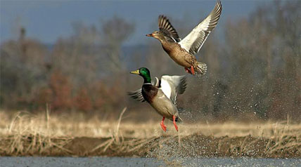 Although not unexpected in the face of ongoing drought conditions, Ducks Unlimited is once again disappointed in the decision to restrict the water supply to rice growers for the coming growing season.