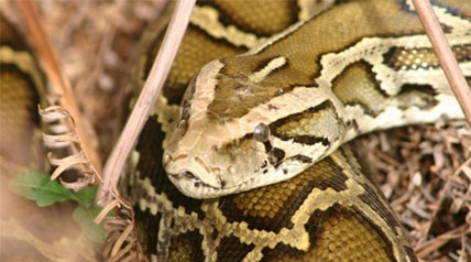 Python appearances in Flordia residential areas has brought more attention to the invasive problem, and prompted the 2013 Python Challenge – a hunt/awareness campaign inviting the public and Florida's python permit holders to see who can harvest the longest and the most Burmese pythons.