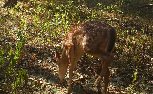 When the author first set up the trail camera and attractant in the new site, he only caught fawns (like this one), does and small bucks. (Jeremy Flinn photo)