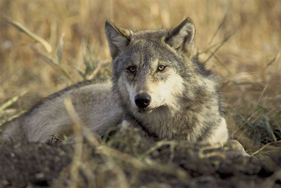 USSA Weighs Legal Options in Great Lakes Wolf Battle