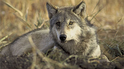 On Dec. 20, a federal district court judge in Washington D.C. struck down the delisting of wolves in the western Great Lakes region, and returned them to federal protection under the Endangered Species Act.