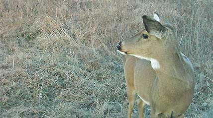 While there is ample evidence to support the whitetail's incredible sense of smell, until recently little was known regarding their sense of hearing.