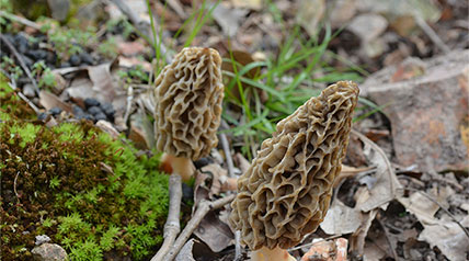 Have some morel mushrooms in your fridge that are about to go bad? Give them a longer life by properly freezing them.