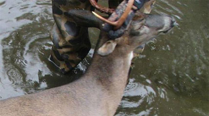 As bowhunters prepare to head afield, zeroing-in on their favorite deer-hunting haunts, the good news is the fatal and cyclic deer malady, epizootic hemorrhagic disease (EHD), has not been as widespread and devastating as some recent years.