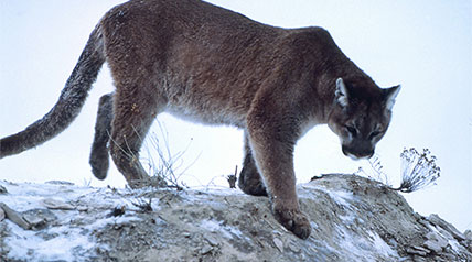 Nebraska state Sen. Ernie Chambers is back with his anti-hunting crusade against scientific management of mountain lions.