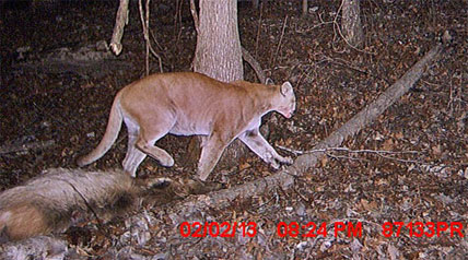 More than a century later, mountain lions are back and have spread across 14 states and the Canadian provinces of Ontario and Manitoba.