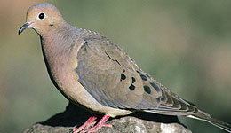 10 Dove Hunting Mistakes to Avoid