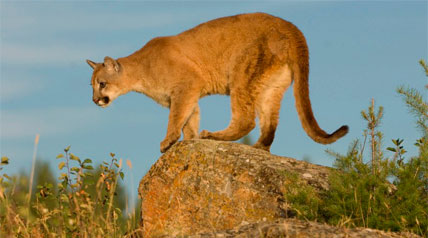 Nebraska outdoor officials are set to vote on draft regulations for a limited mountain lion hunting season in the state. The proposed season would allow hunters to kill three mountain lions during two open seasons in the Pine Ridge area.