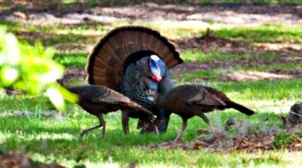 With the opening of spring turkey hunting season near, the Vermont Fish & Wildlife Department urges hunters to consider these safety tips.