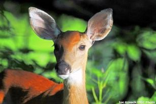 Game Commission to issue 13,000 permits for antlerless deer within Disease Management Area 2.