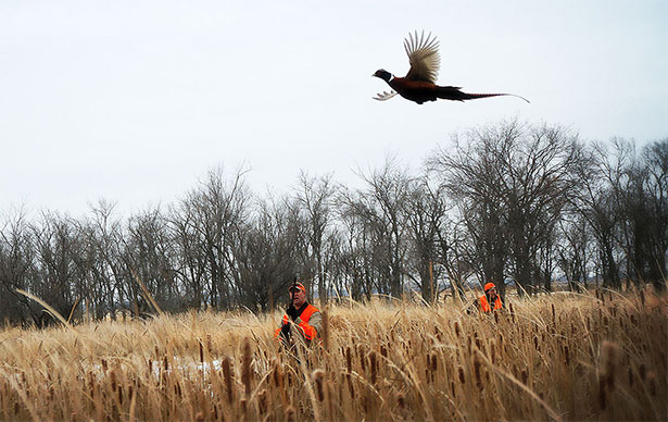 Pheasants sometimes will only fly as a last ditch effort to escape.