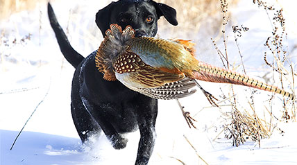 Pheasants Forever has released their 2015 Pheasant Hunting Forecast, broken down by state. Based on summer surveys, numbers have increased 30 to 50 percent in the heart of pheasant range.