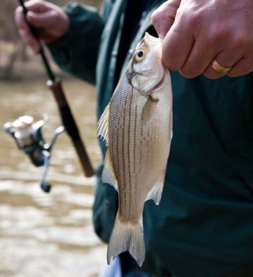 The author holds a white bass caught last April from the Salt River just upstream of Taylorsville Lake. Average-sized white bass such as this one, usually male, are the first to migrate upstream during their annual spring spawning runs, followed by the larger females.