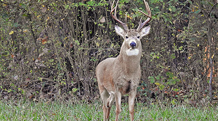 Research studies reveal visual perceptions of white-tailed deer, what they can see, their strengths and weaknesses.