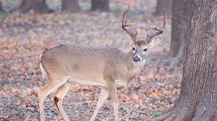 Texas is more like four states than one. Not only is it huge, it has everything from plains to desert to forest to hills to coastal habitat and then some, and the adaptable whitetail deer fills them all.