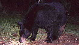 Black Bear Hunters Can Test Identification Skills Online