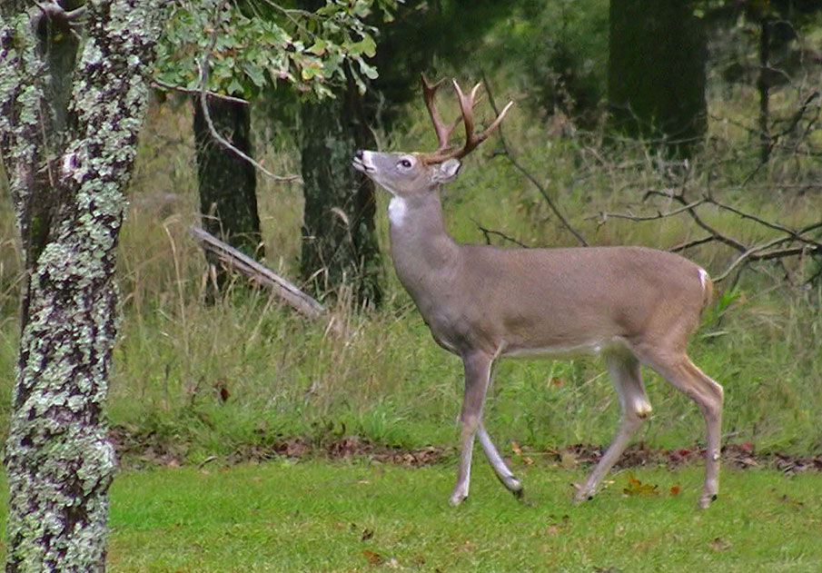 Understanding Whitetail Activity and Movement Yields Better Deer Hunting Success