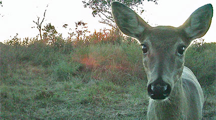 Game and trail cameras have revolutionized whitetail hunting over the past decade, but even with high-definition cameras sporting plenty of bells and whistles, there are mistakes many hunters make when using them to tilt the odds in their favor.