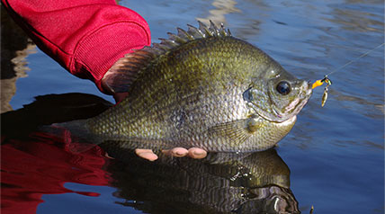 Is it possible to plan a fishing trip that will allow you to catch—by design rather than accident—a bluegill or redear sunfish weighing 1-1/2 pounds or more?