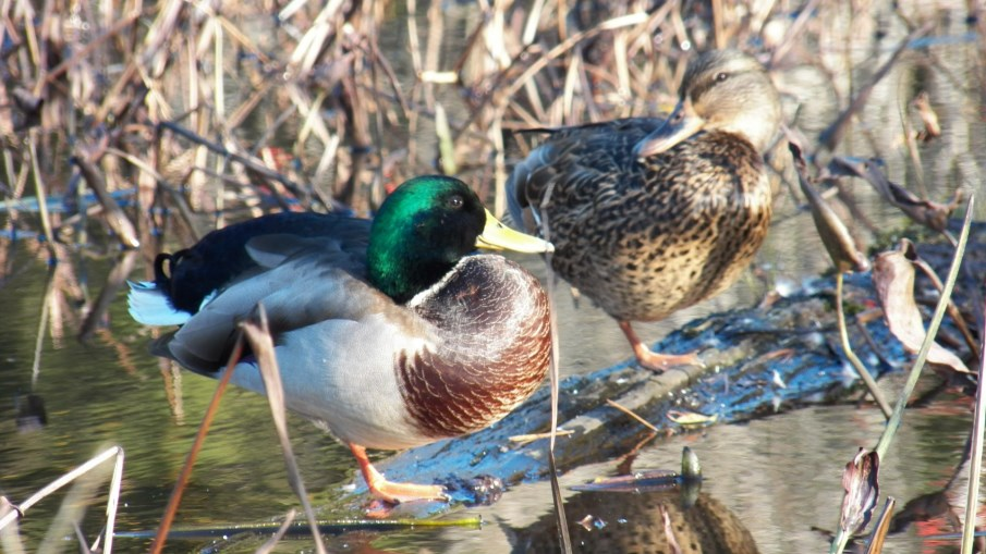 Hunting Ducks, Duck Behavior 101