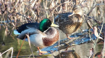 Love hunting ducks, but want to learn a little more? If you are new to duck hunting and would like to know a bit more about duck behavior, then you have come to the right place.