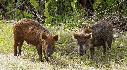 Feral hogs destroy wildlife habitat at alarming rates and cause a number of important concerns to hunters, farmers and other landowners in Oklahoma.