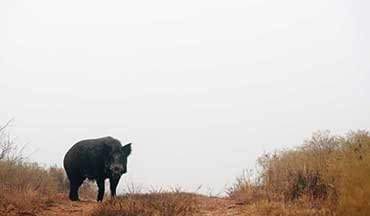 Hog hunting is actually beneficial for the environment, but make sure to take the correct precautions when handling swine.