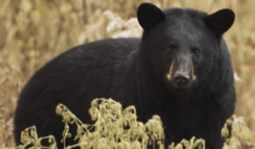 Make Manitoba your next destination for spring black bears!