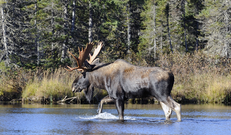 Quebec-Moose.jpg