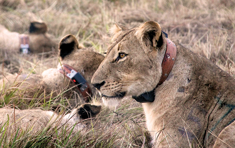 African lioness with conservation collar
