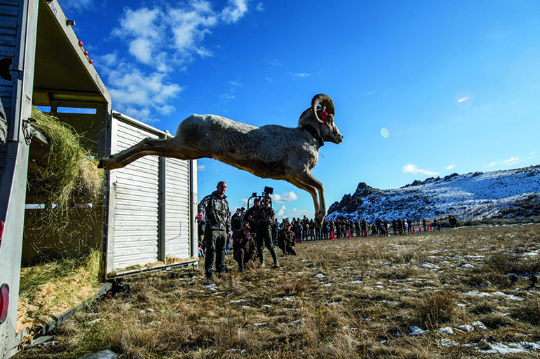 bighorn sheep being released