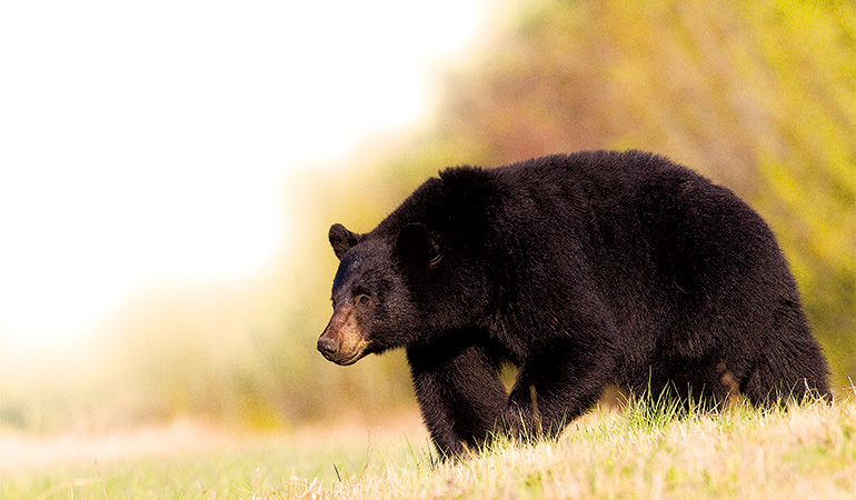 North America's Toughest Black Bear Hunts