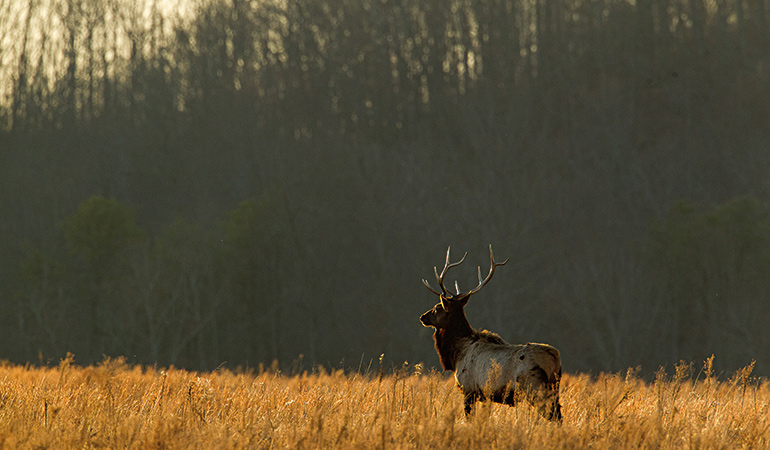 Eastern Elk Conservation Efforts Mean More Hunting Opportunities