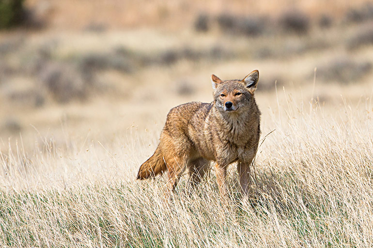 coyote standing in field