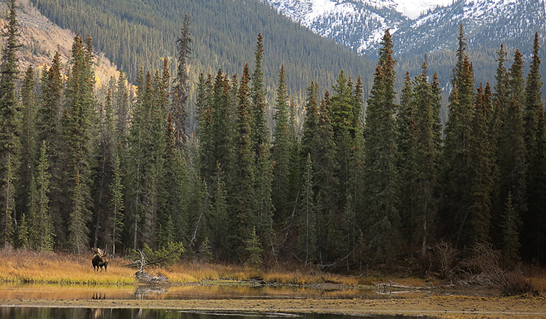 A British Columbia Moose Hunting Misadventure