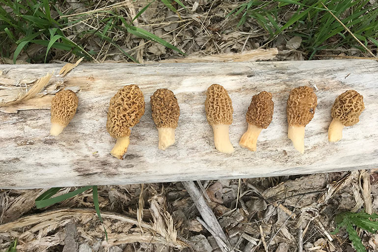 How to Find Morel Mushrooms in the Spring Woods