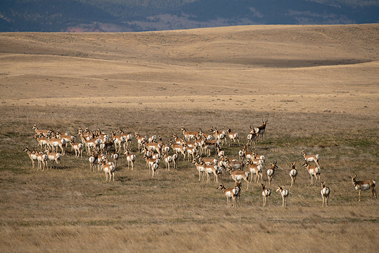 group of pronghorn antelope standing on the plains