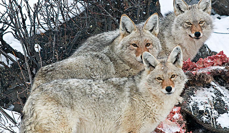 Do Coyotes Really Affect the Whitetail Herd?