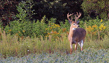 Boost antler growth on your deer property with these food plot tricks.