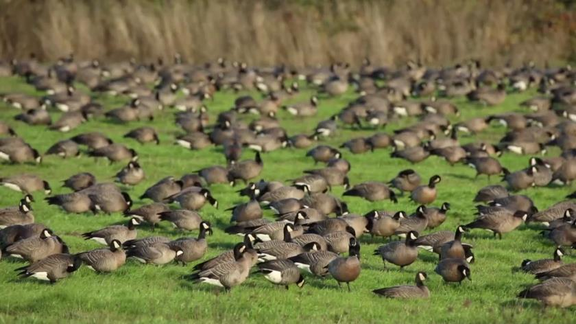 Simple tips and strategies to outwit these small, wily geese.