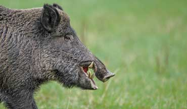 The author discovered that getting ready for a Texas hog hunt is almost as much fun as the hunt itself.