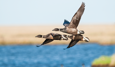Mexican Jewelry: Wild brant hunt yields a shiny bonus.