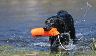 Healthy weight is a moving target that you should aim for all season with your duck dog.