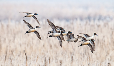 A declining population and tight bag limits have waterfowlers worried about the Northern Pintail.